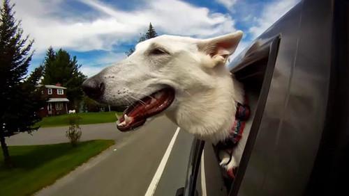 Σκυλιά στο παράθυρο του αυτοκινήτου, ένα βήμα πριν τον οργασμό!